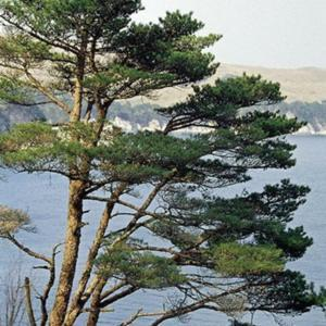 Japanese Red Pine (Pinus densiflora). Wild tree in natural habita