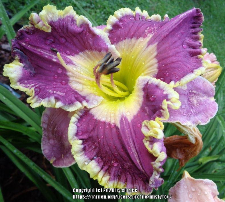 Photo of Daylily (Hemerocallis 'Princess Peyton') uploaded by mistyfog