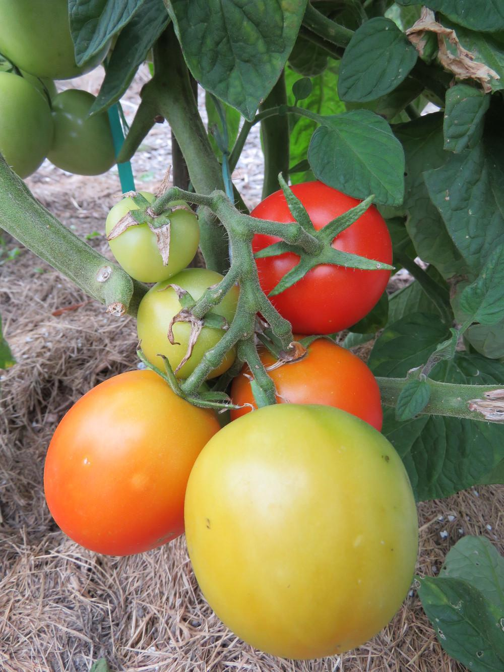 Photo of Tomato (Solanum lycopersicum 'Yablonka Rossii') uploaded by Green_Go