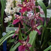 Location: OSCOV Show, Melbourne, Victoria, AustraliaDate: 2019-08-24Part of the West Gippsland Orchid Club display.
