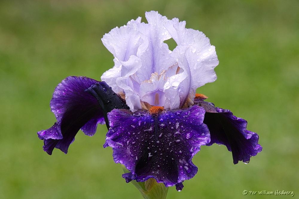 Photo of Tall Bearded Iris (Iris 'Magnetisme') uploaded by William