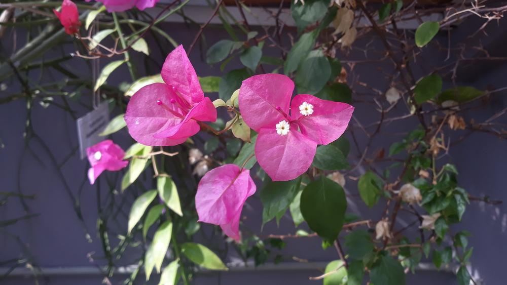 Photo of Bougainvilleas (Bougainvillea) uploaded by skopjecollection