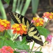 Location: Durham, NCDate: 2019-07-27Swallowtails love this plant.