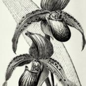 Date: c. 1894illustration from Veitch's 'Manual of Orchidaceous Plants Cultiva