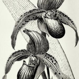 illustration from Veitch's 'Manual of Orchidaceous Plants Cultiva