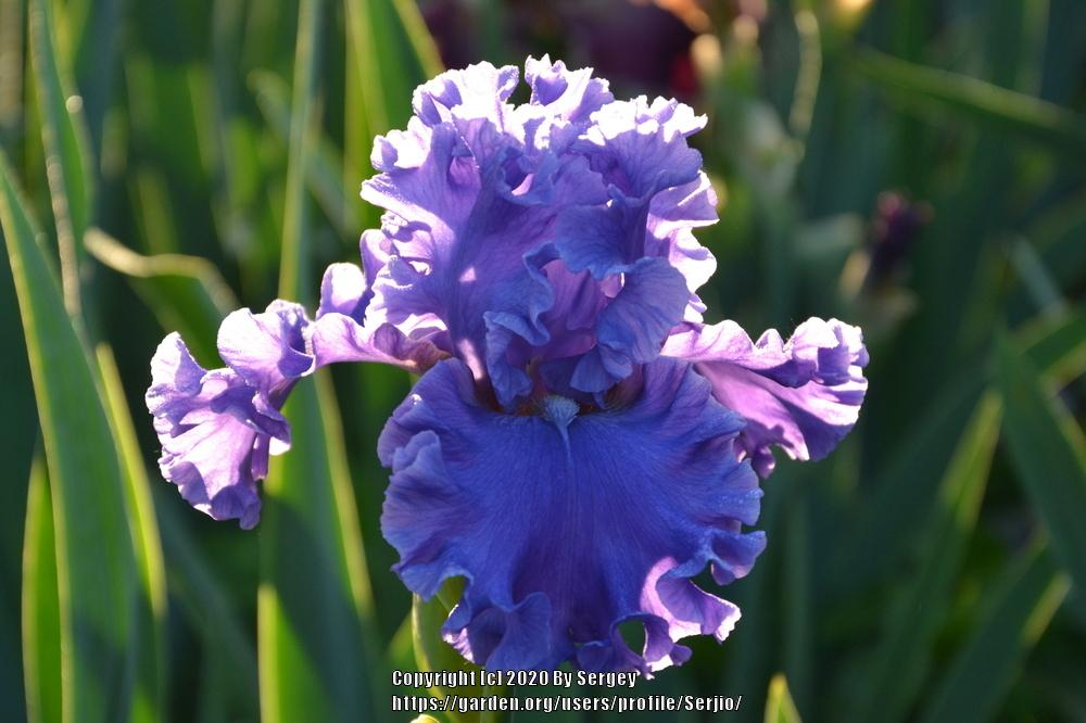 Photo of Tall Bearded Iris (Iris 'Sea Power') uploaded by Serjio