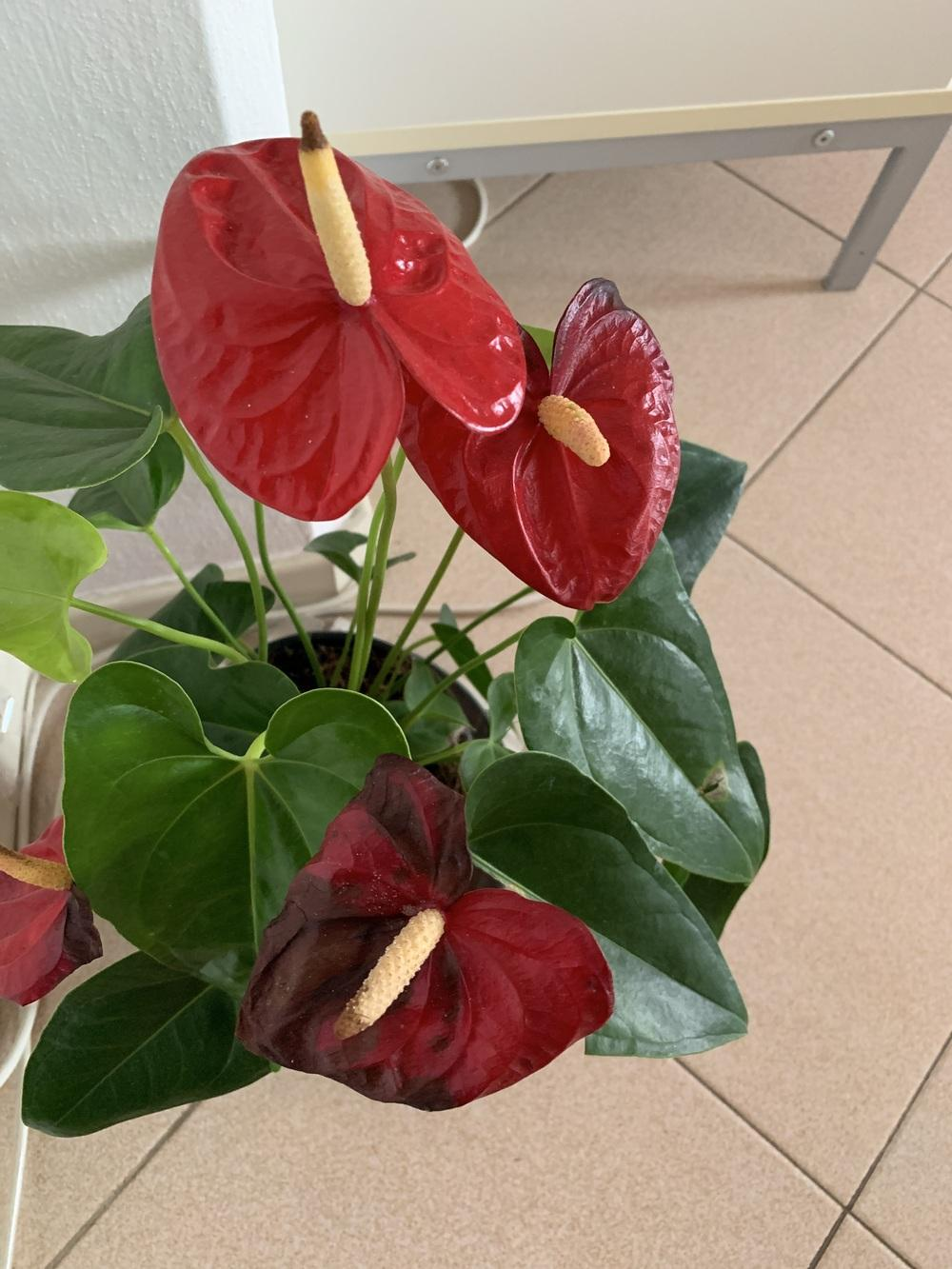 Ask A Question Forum Anthurium Flowers Turning Brown Garden Org