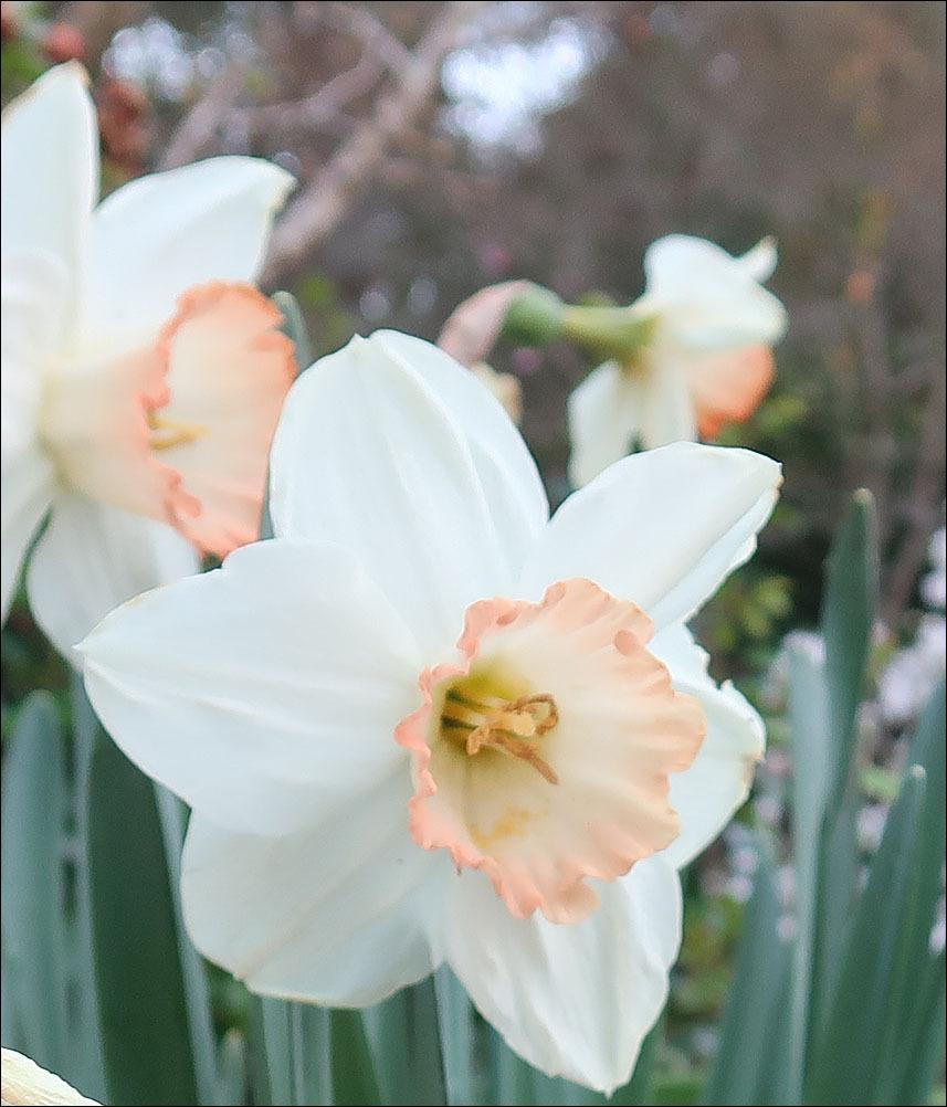 Large-Cupped Daffodil (<i>Narcissus</i> 'Pink Charm')