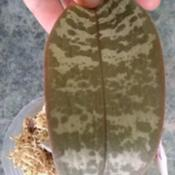 Location: San Diego, CADate: 2020-03-01beautiful mottled leaves on this species