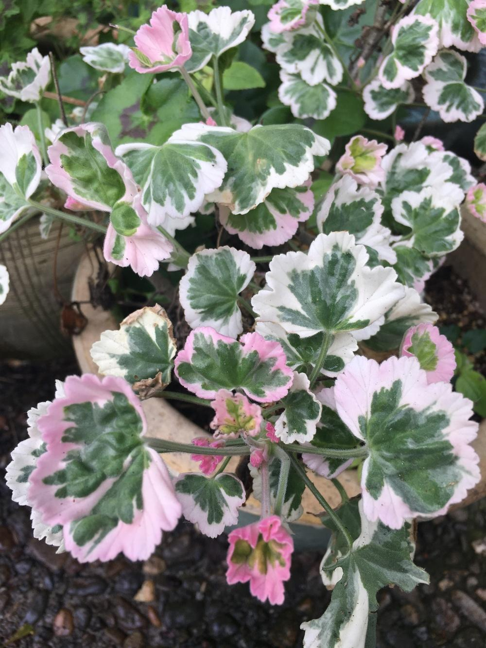 Photo of Storksbill (Pelargonium Mint Julep) uploaded by Calif_Sue