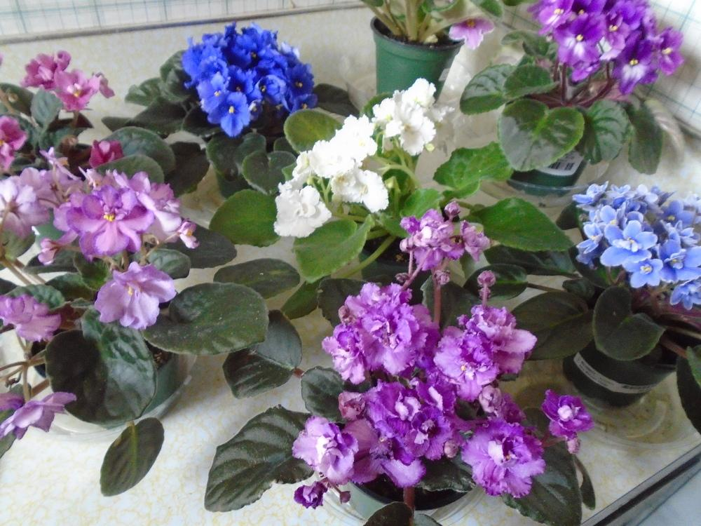 Photo of African Violets (Saintpaulia) uploaded by Paul2032