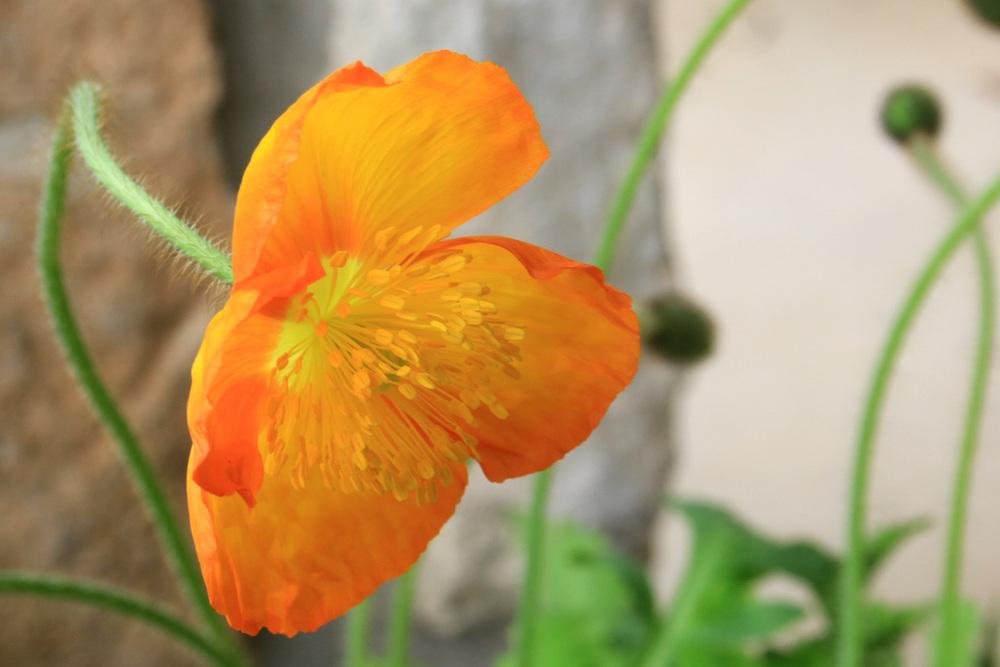 Photo of Iceland Poppy (Papaver nudicaule 'Meadow Pastels') uploaded by GrammaChar