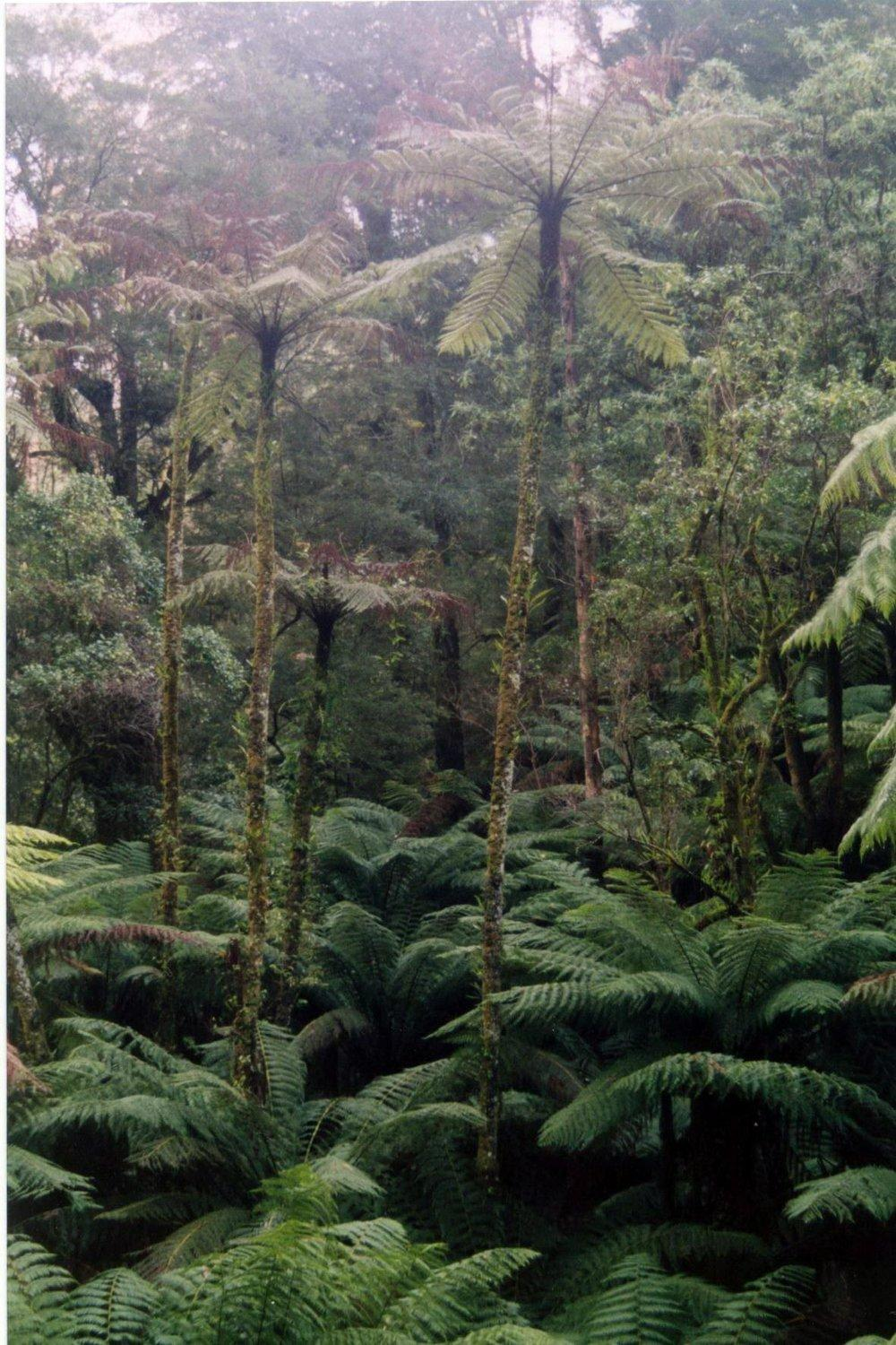 Photo of Slender Tree Fern (Alsophila cunninghamii) uploaded by DaylilySLP