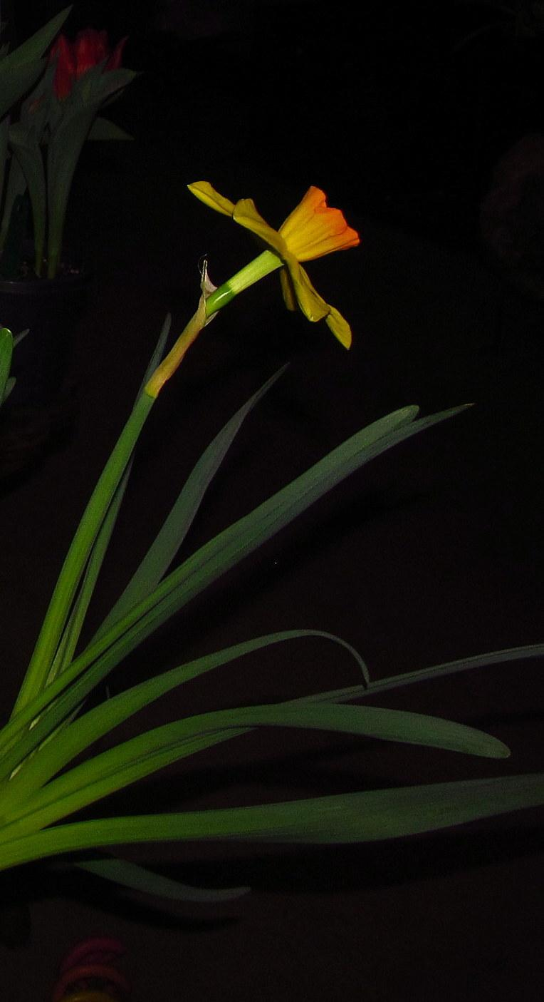 Photo of Large-cupped Daffodil (Narcissus 'Ceylon') uploaded by jmorth