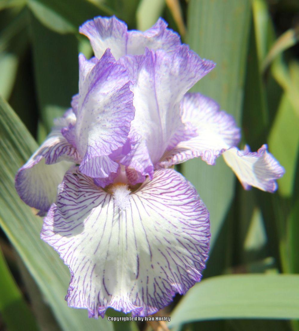 Photo of Tall Bearded Iris (Iris 'Autumn Circus') uploaded by Ivan_N_Tx