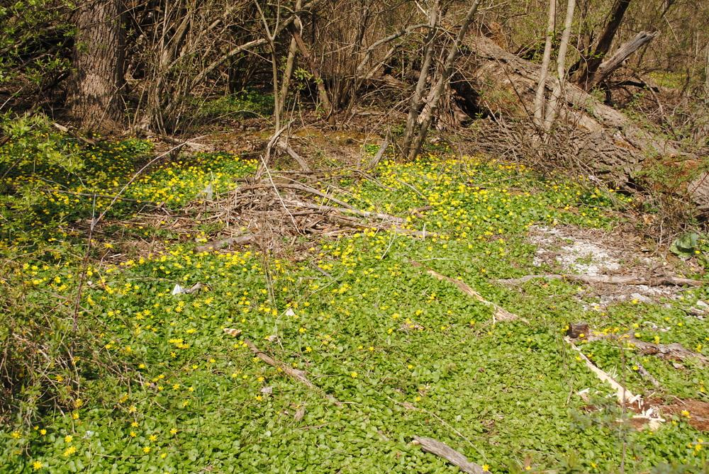 Photo of Lesser Celandine (Ficaria verna subsp. verna) uploaded by ILPARW