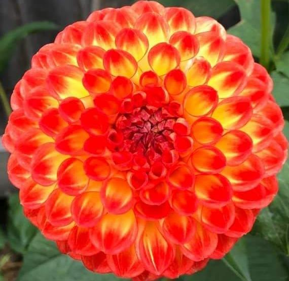 Photo of Dahlia 'Formby Embers' uploaded by gwhizz