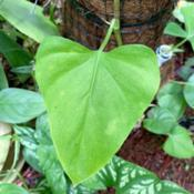Location: My greenhouse, FloridaDate: 2020-03-30This is a VERY JUVENILE leaf of Philodendron tense. Lik