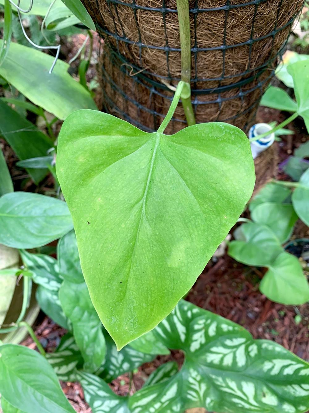 Photo of Philodendron tenue uploaded by Gina1960