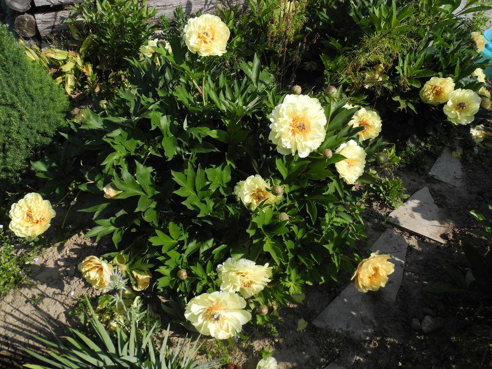Photo of Intersectional Peony (Paeonia 'Garden Treasure') uploaded by Vals_Garden