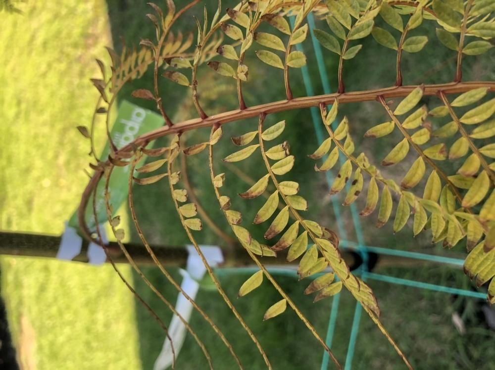 Trees And Shrubs Forum Jacaranda With Yellow Brown Leaves And Leaves Dropping Garden Org