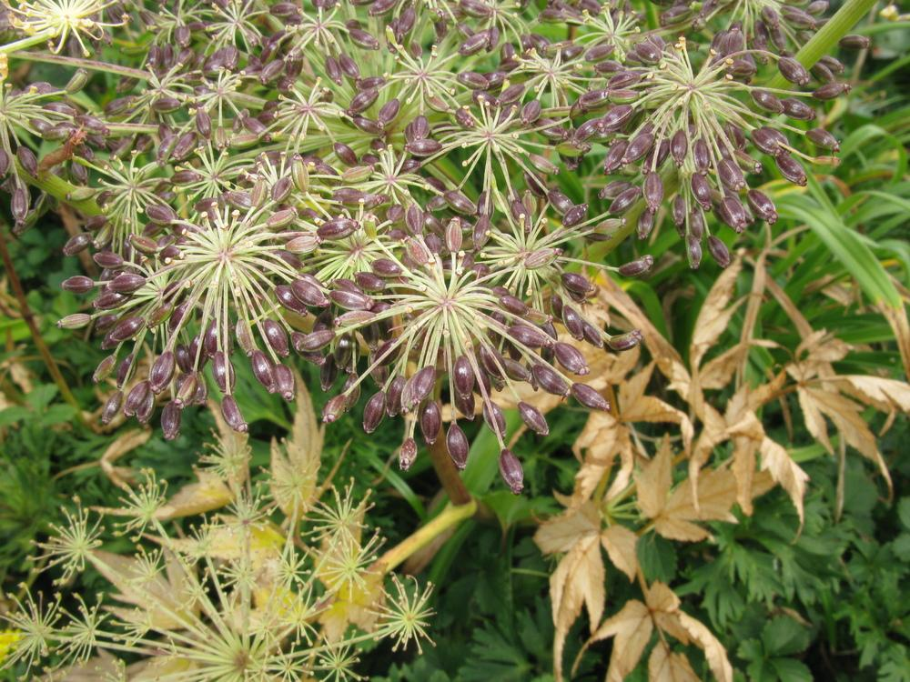 Photo of Angelica acutiloba var. iwatensis uploaded by DaylilySLP