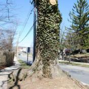 Location: Downingtown, PennsylvaniaDate: 2011-03-27mature vine on tree, probably wild and not planted