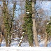 Location: Downingtown, PennsylvaniaDate: 2009-12-20Invasive, wild, mature vines on trees
