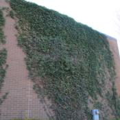 Location: Wayne, PennsylvaniaDate: 2015-11-24mature vine climbing brick wall