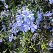 Location: CADate: 4/1/2020Bloom of Rosemary (Salvia rosmarinus)