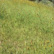 Location: CADate: 4/2/2020Another picture of a whole grove of Common Fiddlenecks