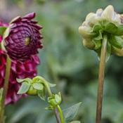 Location: Dahlia Hill, Midland, MichiganDate: 2019-09-26Buds of Cornel dahlia