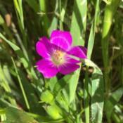 Location: CABeautiful small flower of Red Maids (Calandrinia ciliata)