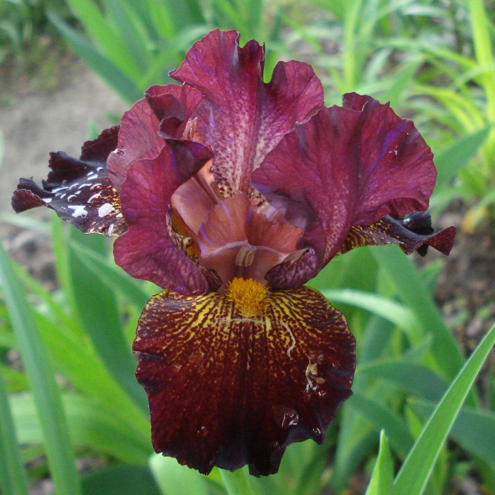 Photo of Intermediate Bearded Iris (Iris 'Crimson Jazz') uploaded by lovemyhouse