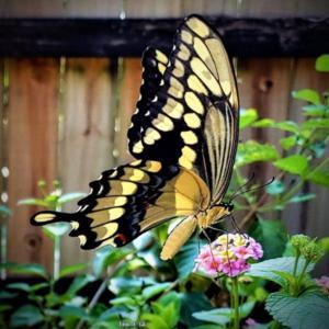 A Giant #Swallowtail enjoying the sweet nectar from a Lantana blo