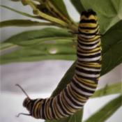 Location: Thomasville, GA USADate: 2019-06-12A#Monarch Buttterfly caterpillar feasting on the leaves