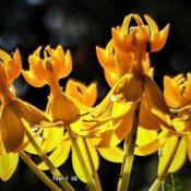 Location: Thomasville, GA USADate: 2019-05-19The all yellow Asclepias curassavica makes a beautiful