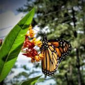 Location: Thomasville, GA USADate: 2019-05-11A colorful #Monarch Butterfly enjoying morning nectar f