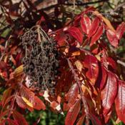 Location: Matthaei Botanical Gardens, Ann ArborDate: 2019-10-18Seeds and leaves of shining or winged sumac, rhus copal