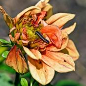 Location: Toledo Botanical Gardens, Toledo, OhioDate: 2012-08-12A caterpillar munching on a sad looking dahlia bloom. #