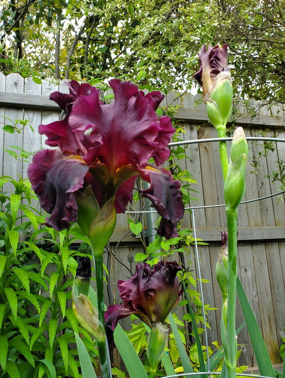 Photo of Tall Bearded Iris (Iris 'Grand Classic') uploaded by javaMom