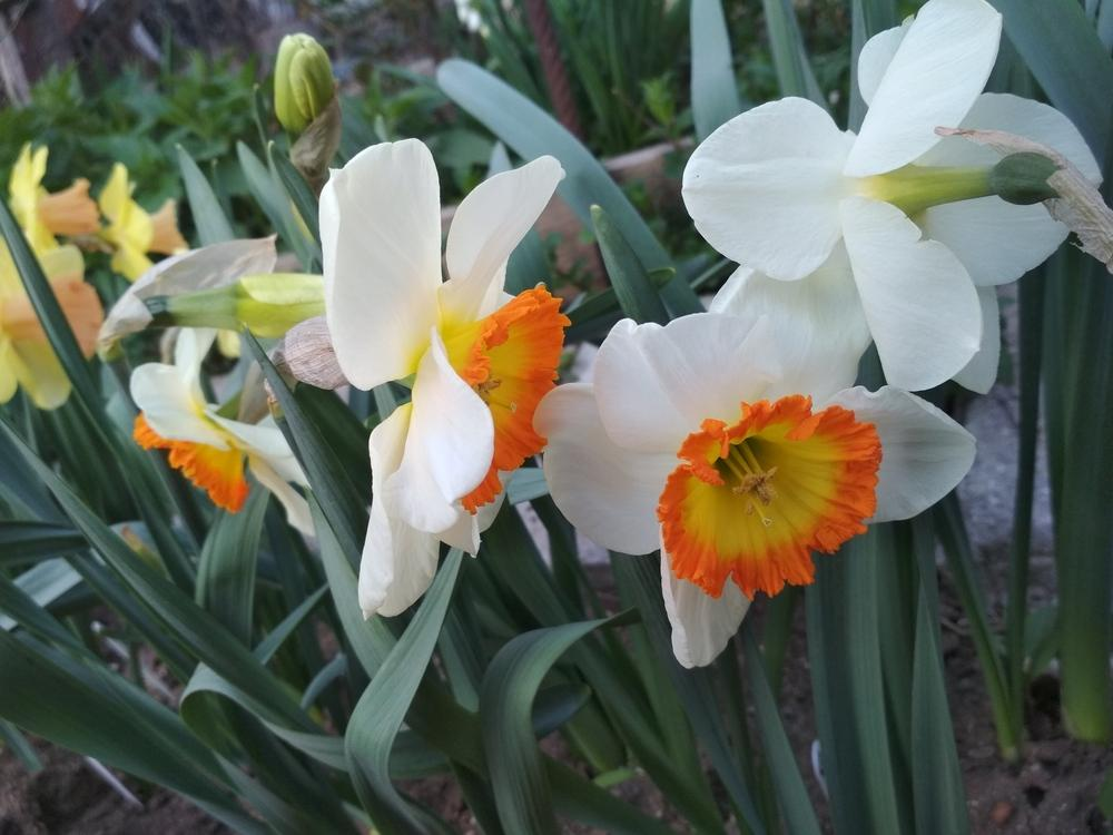 Photo of Large-Cupped Daffodil (Narcissus 'Roulette') uploaded by Nevita