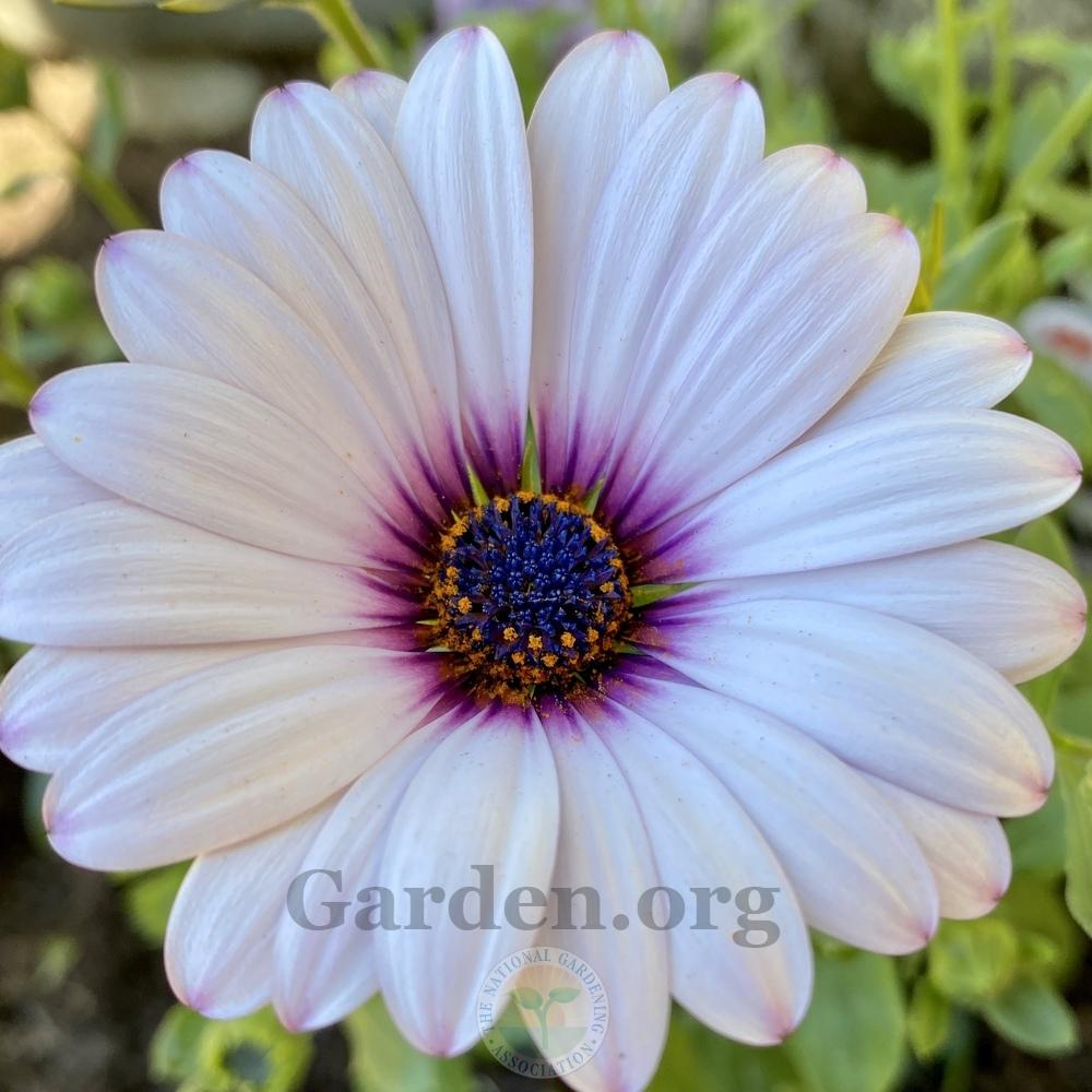 Photo of African Daisy (Osteospermum ecklonis Serenity™ Lavender Frost) uploaded by Patty