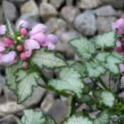 "Location: Northern California, Zone 9bDate: 2020-04-12Soft pink flowers and green edged  ""pewter"" leaves."