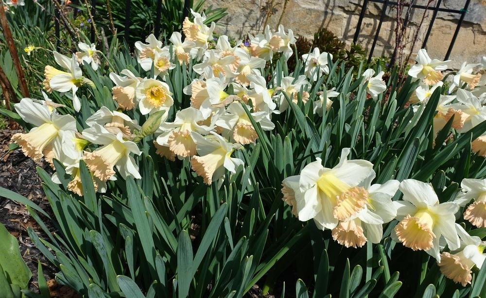 Photo of Trumpet Daffodil (Narcissus 'British Gamble') uploaded by mantisOH