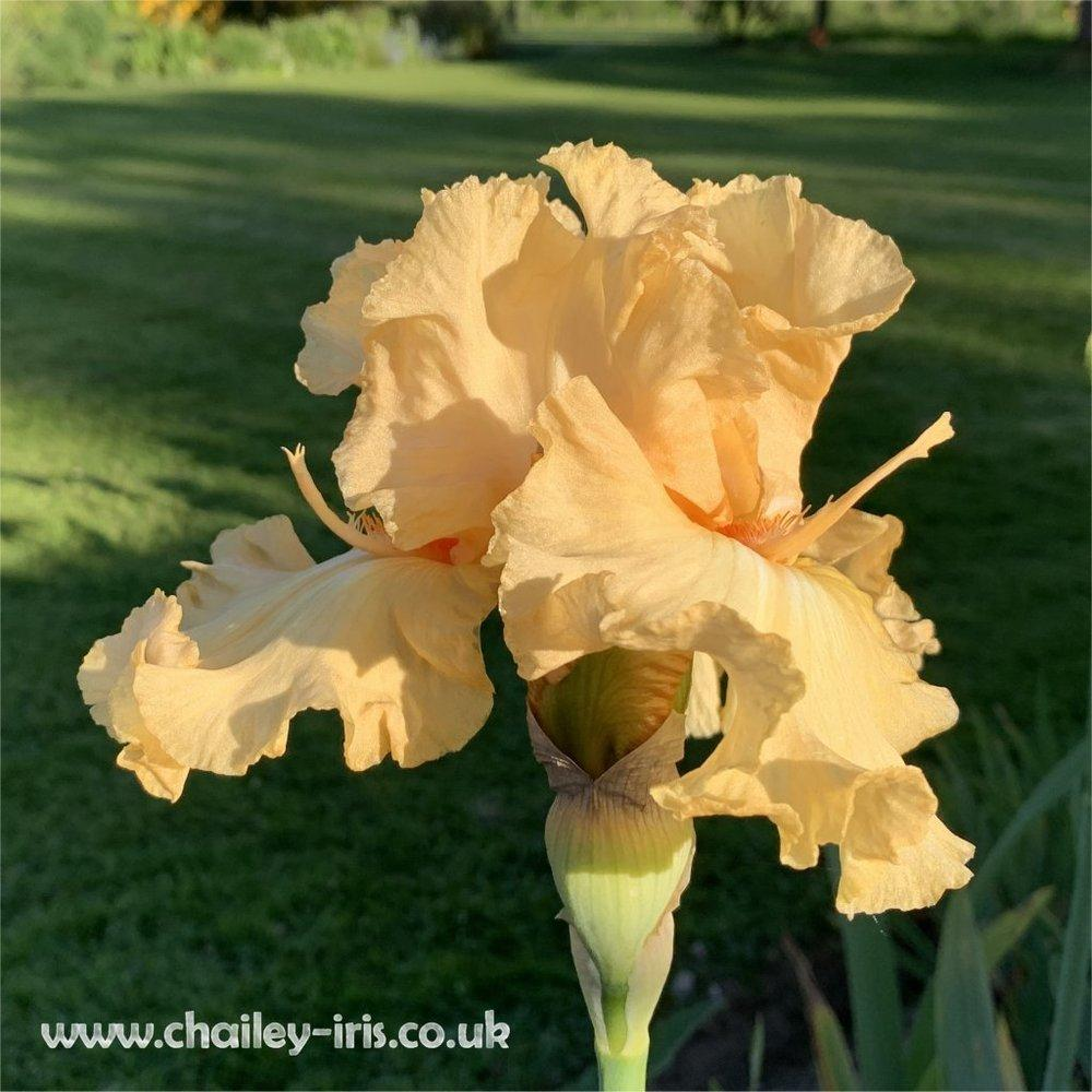 Photo of Tall Bearded Iris (Iris 'Capricious Candles') uploaded by jeffa