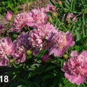 Location: Peony Garden at Nichols Arboretum, Ann Arbor, MichiganDate: 2018-05-31Blooms on this plant in 2018 showed a nice mix of the t