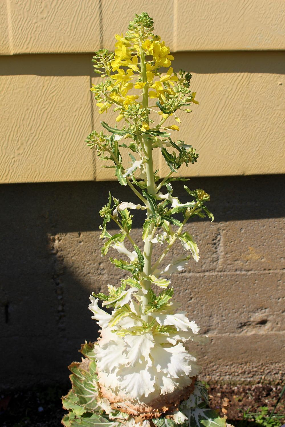 Photo of Flowering Cabbage (Brassica oleracea var. viridis 'Nagoya White') uploaded by keithp2012