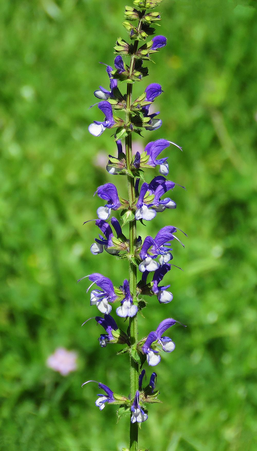 Photo of Sage (Salvia Color Spires® Azure Snow) uploaded by DebraZone9