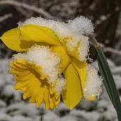Location: Ann Arbor, MichiganDate: 2020-04-17Daffodil during a spring snow storm 4/17/20